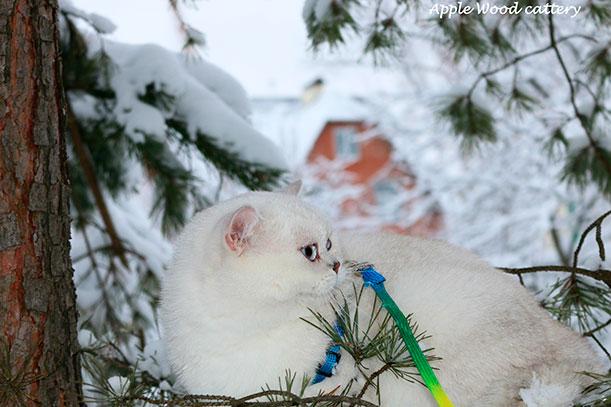 Это фото кошки британской шиншиллы  из Московского питомника шиншилл.