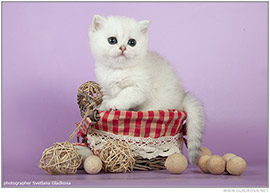 В Московском питомнике британских на данный момент есть котята для продажи