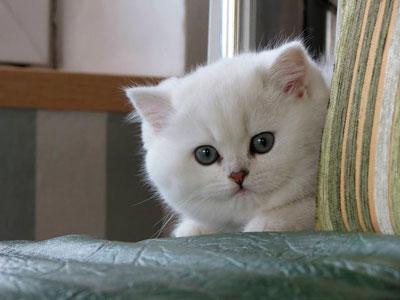 кошка окраса серебристая шиншилла из Москвы