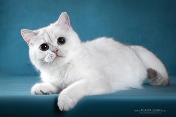 кошка окраса золотая шиншилла из Москвы