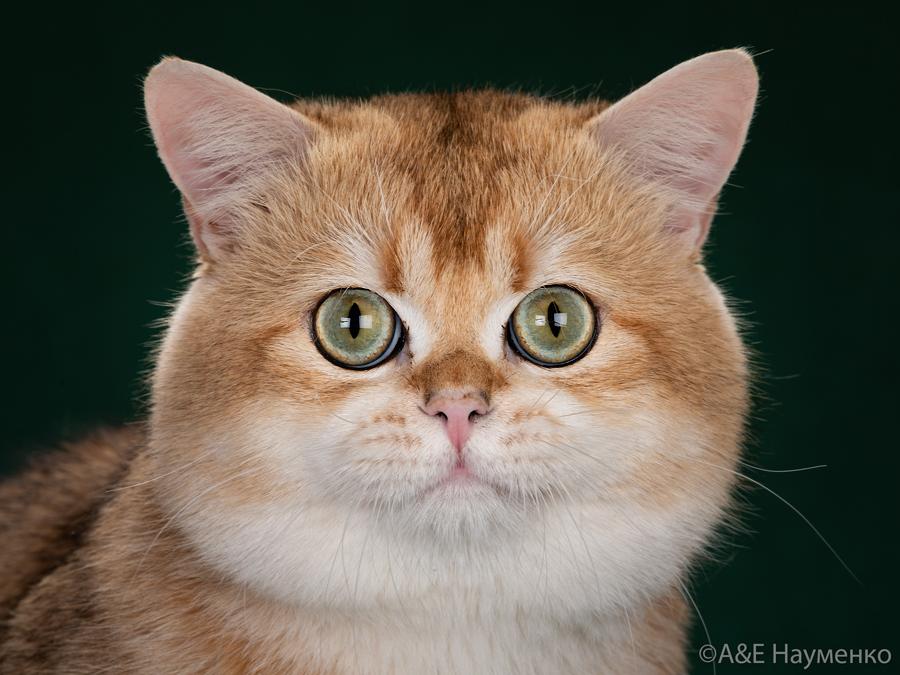 Вот фото кота британской шиншиллы  из Москвы.