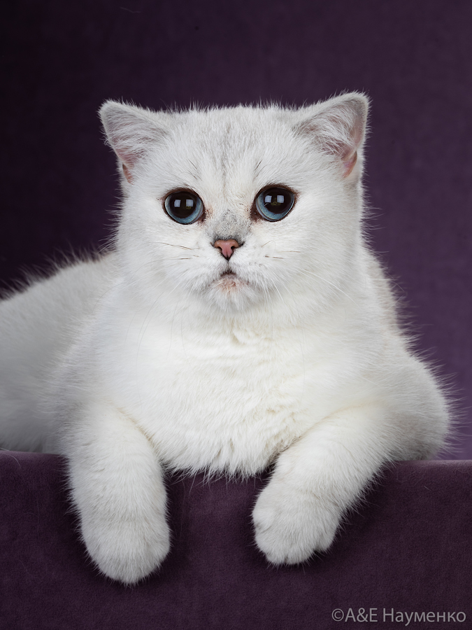 Фото кошки британской шиншиллы  из Московского питомника.