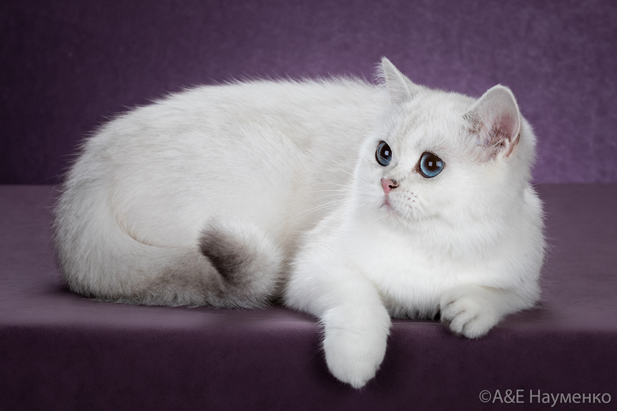 Фото взрослой кошки британской шиншиллы  из Московского питомника шиншилл.