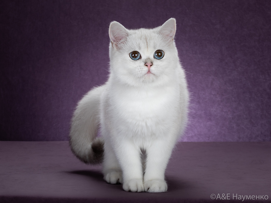 Вот фото кошки британской шиншиллы  из Москвы.