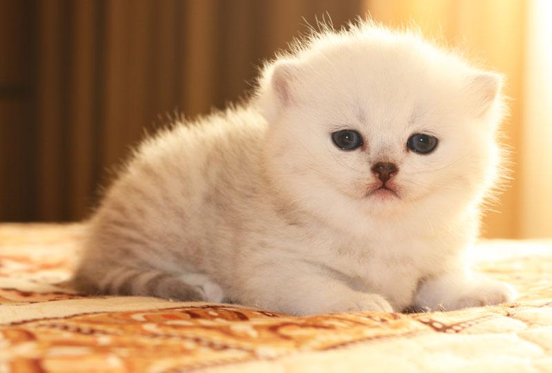 Купить котенка Jessy Apple Wood британской шиншиллы в Московском питомнике