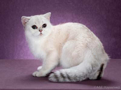 кошка окраса серебристая шиншилла-пойнт из Москвы